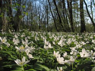 5 roślin, które znajdziesz wiosną w lesie